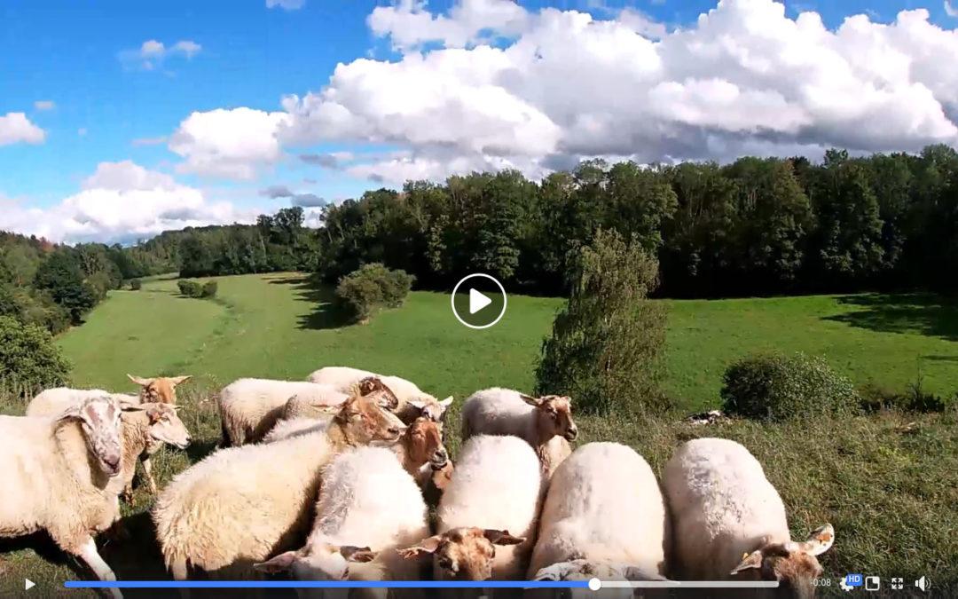 Nos moutons pâturent en réserve naturelle !